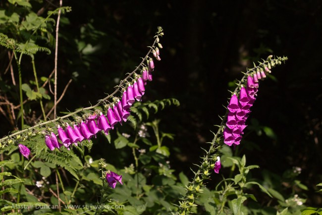 Forest Foxgloves