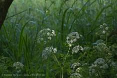 wildflowers - cow parsley