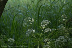 wildflowers - cow parsley
