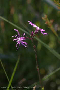 Wildflowers - ragged robin