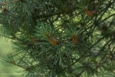 pine detail