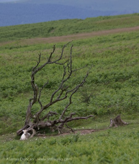 dead wood and sheep
