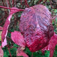 Autumn dogwood leaves