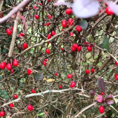 Berberis berries