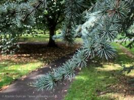 Henrietta Park conifer