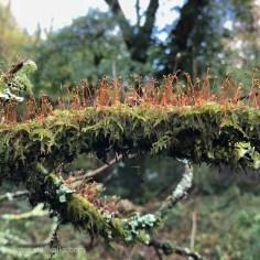 upright moss