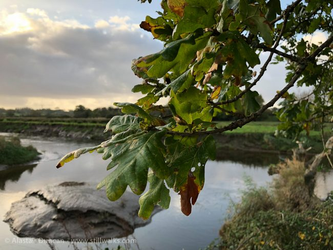 Oak leaves and river