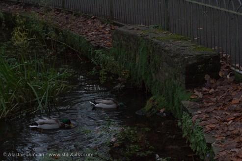 Dark Park 17 - ducks