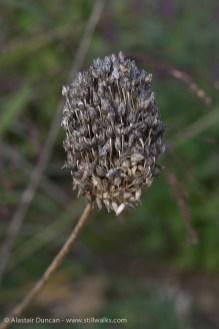 seed head 1
