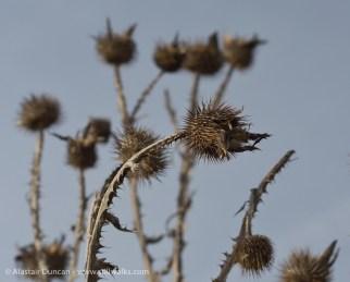 seed head 3