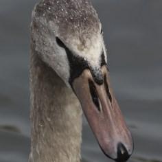 juvenile swan