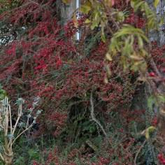 multitude of red berries