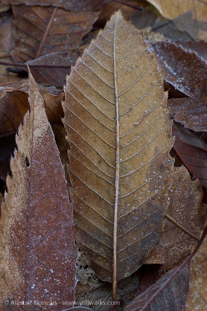 frozen leaf pattern