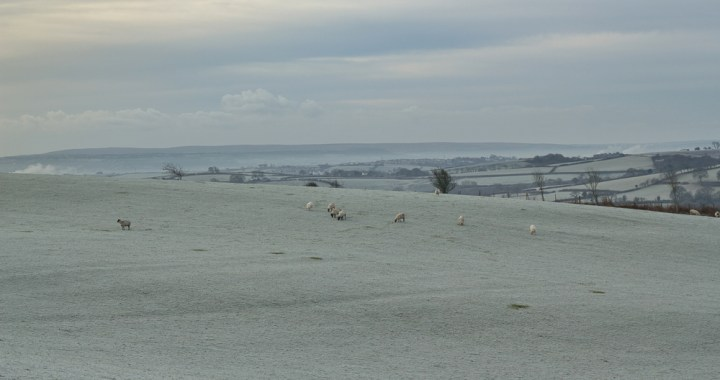 sheep and frost