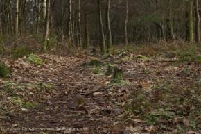 leafy woodland footpath