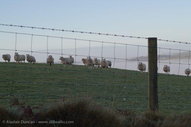Goppa sheep