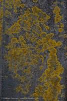 gatepost lichen