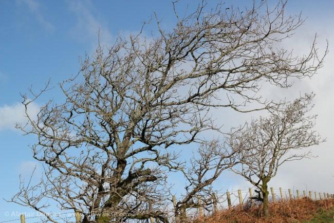 Mynydd Gelli tree