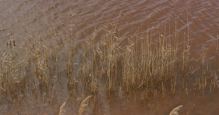 Red water grasses