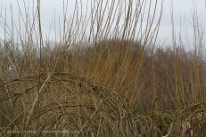 Willow growth