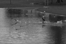 Fighting geese - monochrome