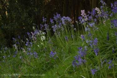 back to the bluebells