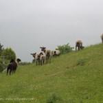 lambs looking back