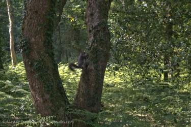 squirrel on oak tree
