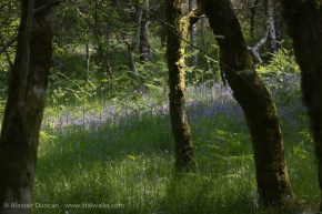Busy bluebells