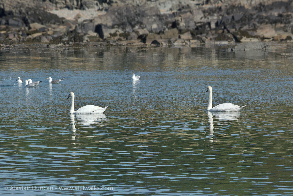 swans settled at sea
