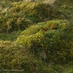 mossy hummocks