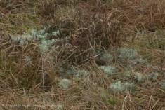 upland lichen