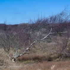 Kenfig Burrows tree