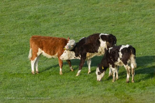 Playful calves