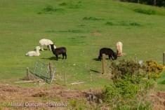 Alpacas down below