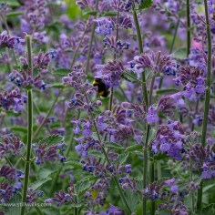busy bees on lavender
