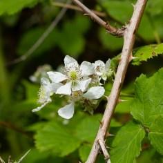 bramble blossom