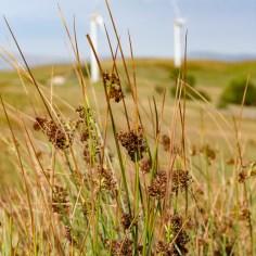 moorland grasses