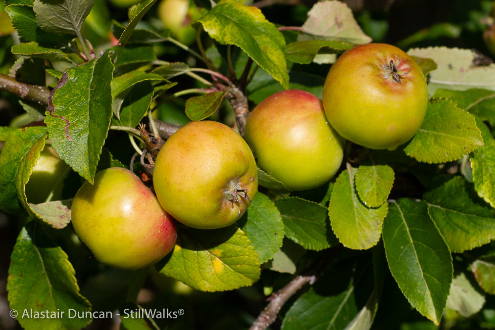 apples - start of the harvest