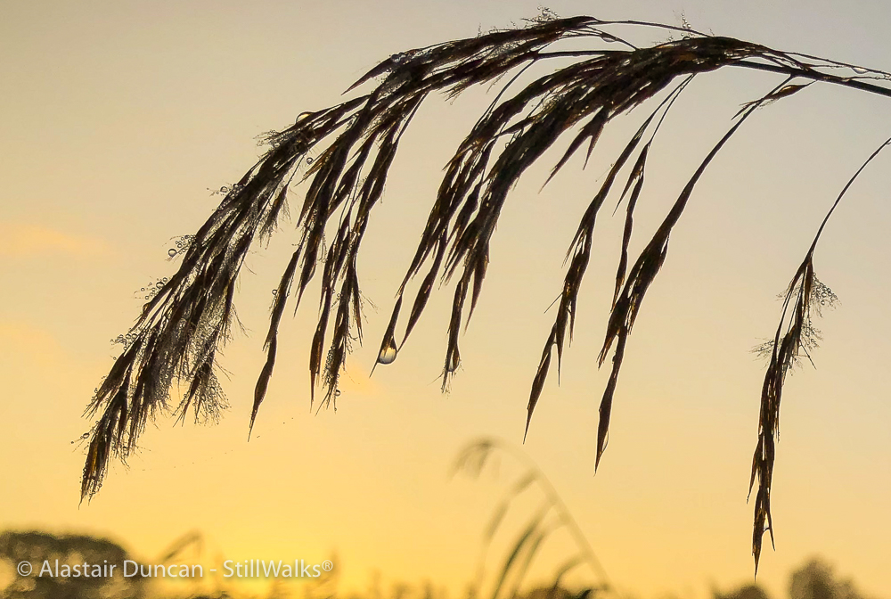 marsh grass with dew drops