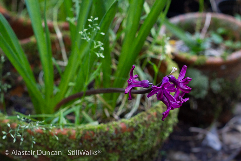 last hyacinth and moss