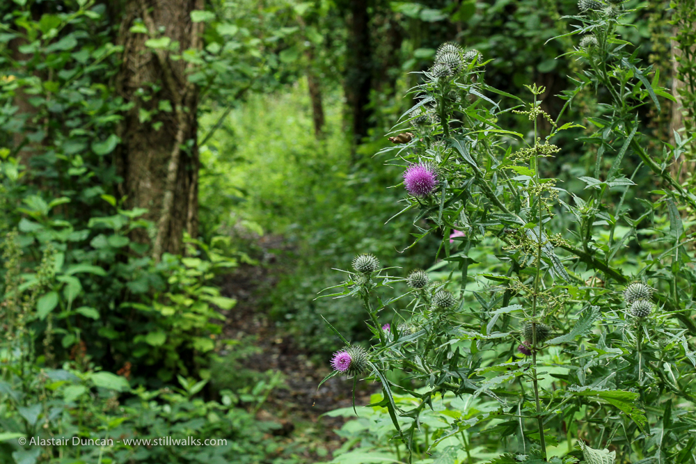 thistle and path
