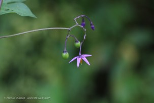 wildflower mauve