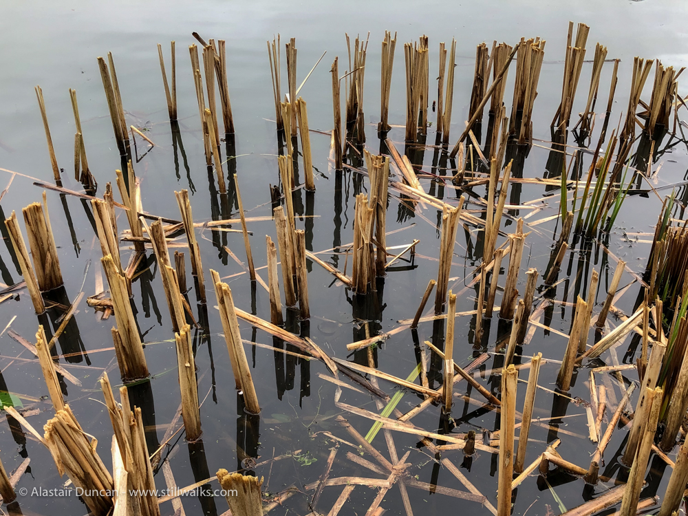 Brynmill reeds