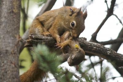 Eichhörnchenmutter trägt Baby. Bild: Ryan W. Taylor