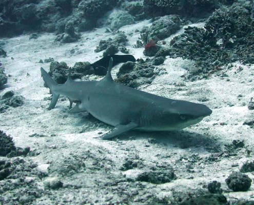 Stingray Divers - Tauchreise Apo Reef, Hai am Grund liegend