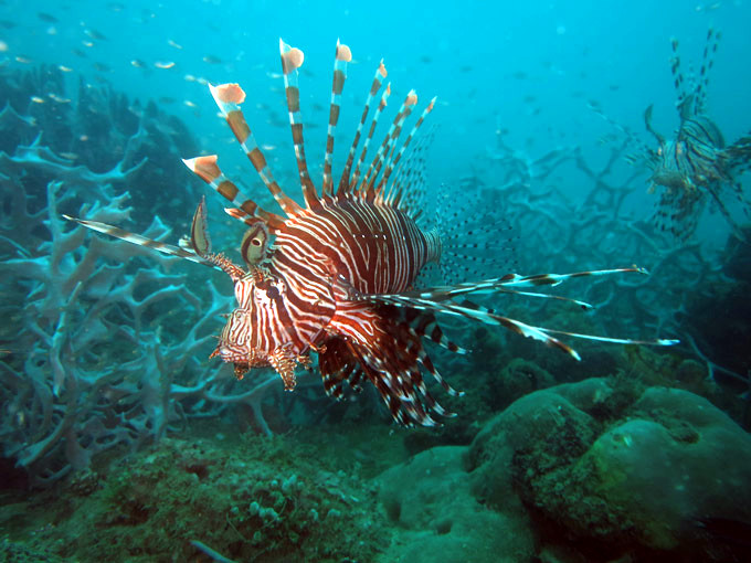 A lionfish on the plane wreck.
