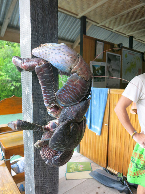 A big coconut crab at Kadidiri, the Togean Islands. They climb trees and grow up to 4kg 1m!