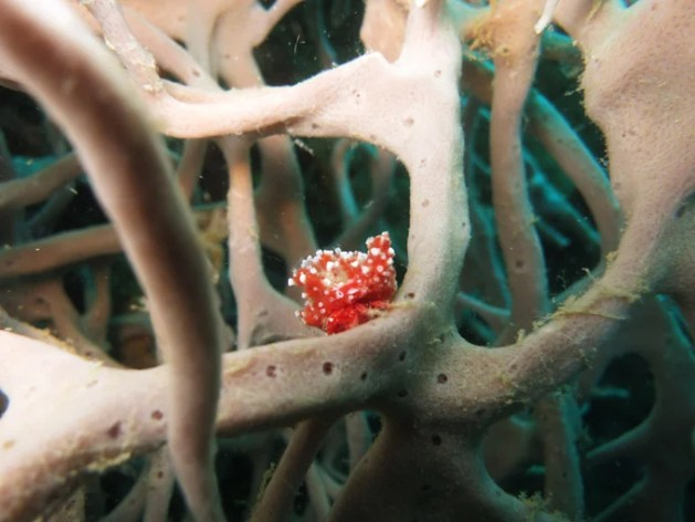 Interesting sea slug on coral growing on the B42 Bomber wreck.