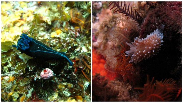 cape nudibranch